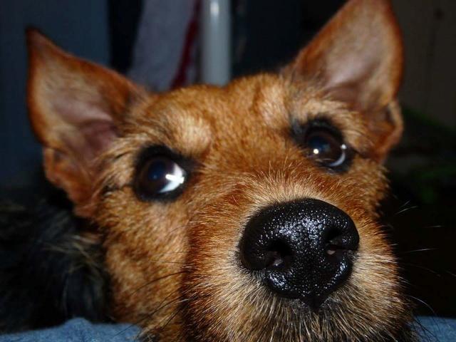 Gribouille, mâle castré croisé pinscher/yorkshire Fb_img10
