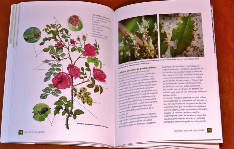 Petit guide sur la rose P1180813