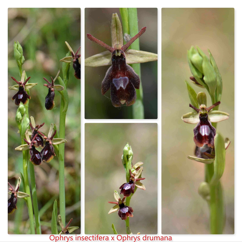 insectifera x drumana (saratoi) Insect10