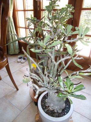 Sauvage sud africaine: Adenium obesum  - Page 10 61833712
