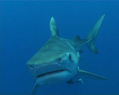 Coucou Requin10