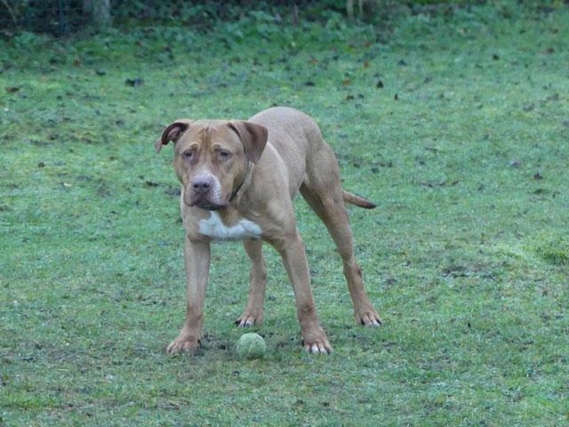 KAIZER (Braque croisé Dogue) Kaizer16