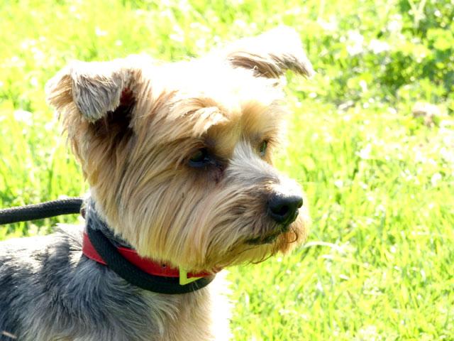 KALI (Yorkshire Terrier) Kali210