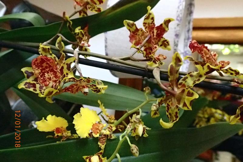 floraisons des orchidées - Page 42 P1122410