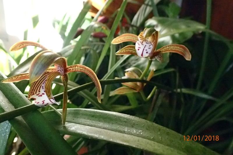 floraisons des orchidées - Page 42 P1122414