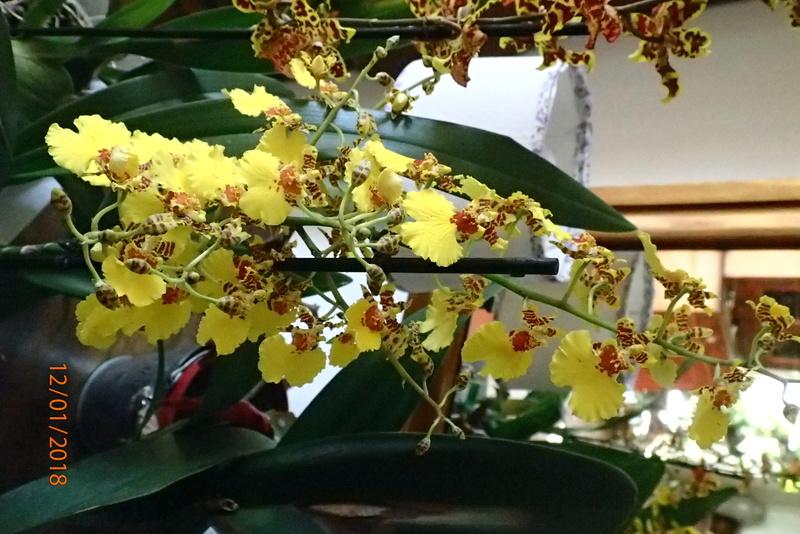 floraisons des orchidées - Page 42 P1122415
