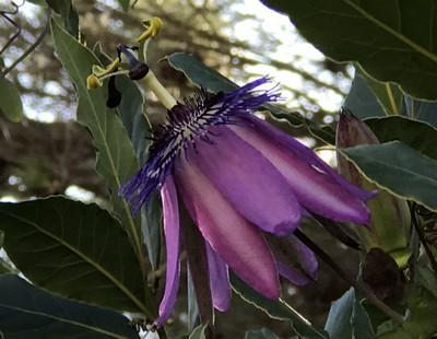 Passiflora x 'Lavender Lady' Img_1010