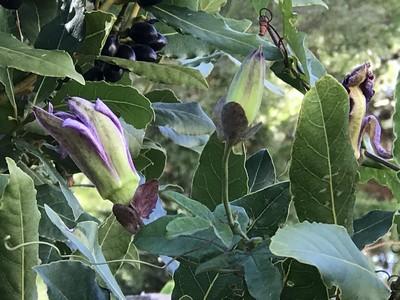 Passiflora x 'Lavender Lady' Img_1012