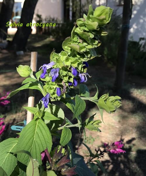 Salvia - les floraisons du moment - Page 18 Img_1111