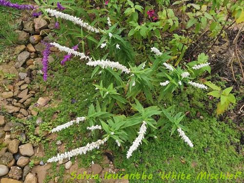 Salvia - les floraisons du moment - Page 19 Img_2021
