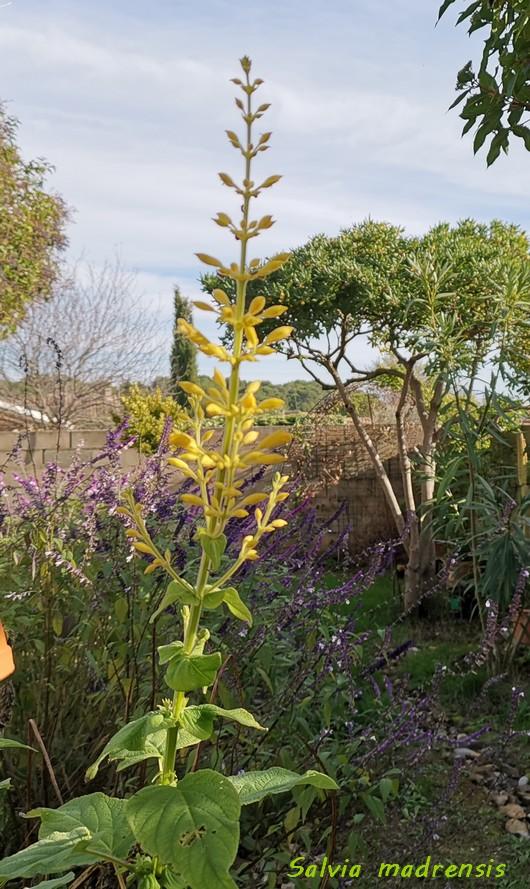 Salvia - les floraisons du moment - Page 19 Img_2022