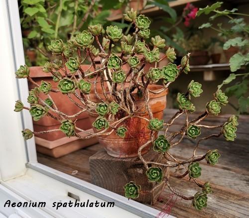 Aeonium spathulatum et A. ?? [identification non terminée] Img_2026