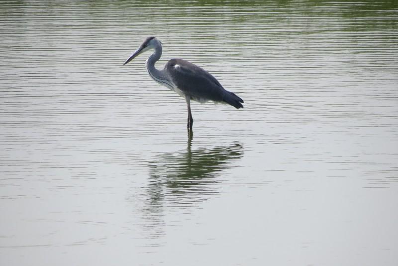 héron ,aigrettes et autres oiseaux ;  guisseny  ,étang prés de mer Img_9410