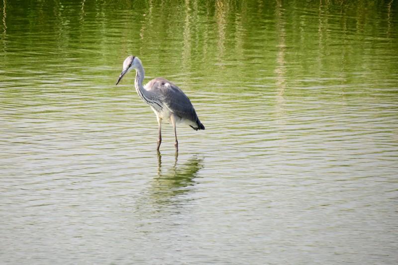 héron ,aigrettes et autres oiseaux ;  guisseny  ,étang prés de mer Img_9414