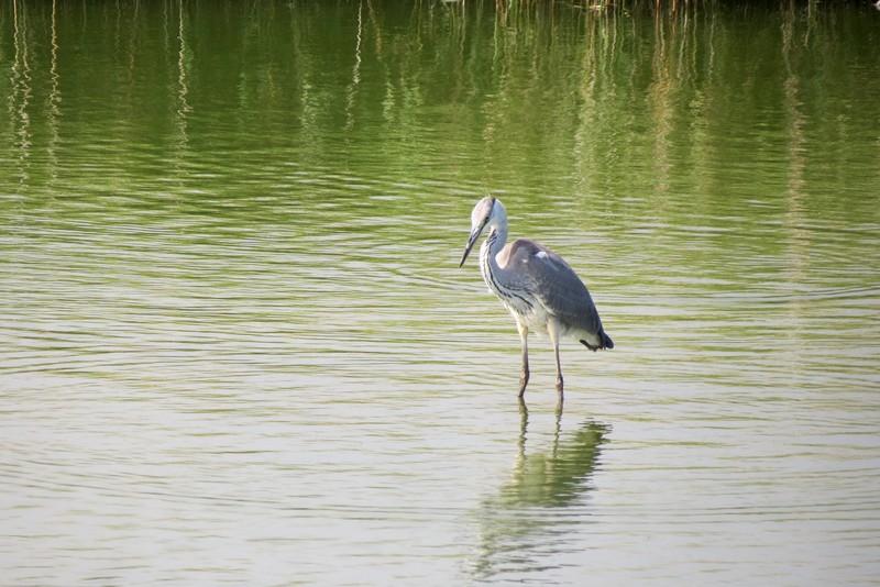 héron ,aigrettes et autres oiseaux ;  guisseny  ,étang prés de mer Img_9415