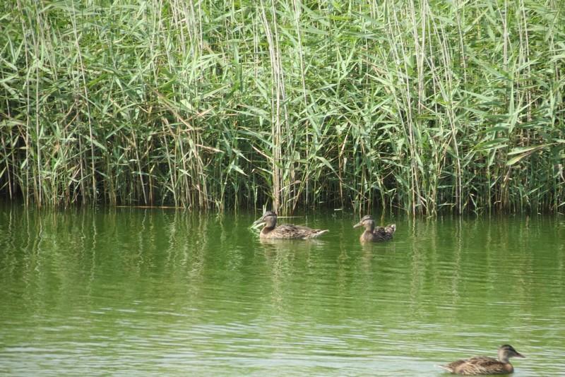 héron ,aigrettes et autres oiseaux ;  guisseny  ,étang prés de mer Img_9416