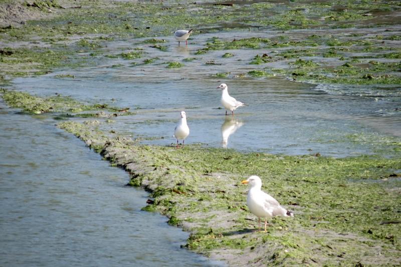 héron ,aigrettes et autres oiseaux ;  guisseny  ,étang prés de mer Img_9417