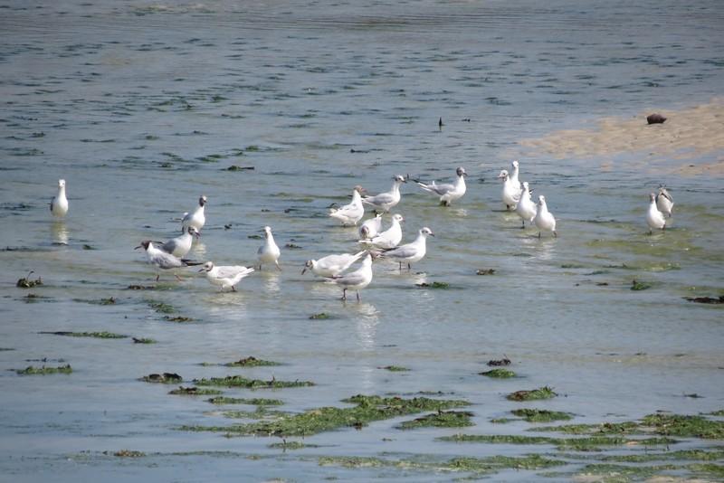 héron ,aigrettes et autres oiseaux ;  guisseny  ,étang prés de mer Img_9419