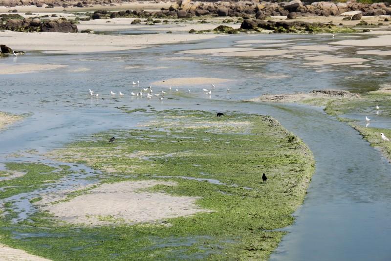 héron ,aigrettes et autres oiseaux ;  guisseny  ,étang prés de mer Img_9420