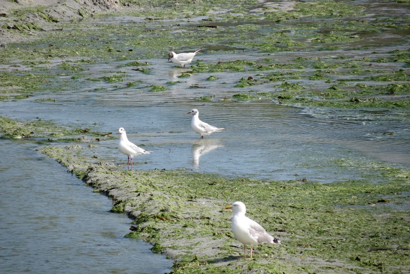 héron ,aigrettes et autres oiseaux ;  guisseny  ,étang prés de mer Img_9421