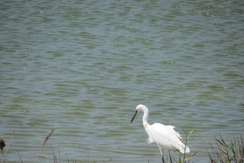 héron ,aigrettes et autres oiseaux ;  guisseny  ,étang prés de mer Img_9422