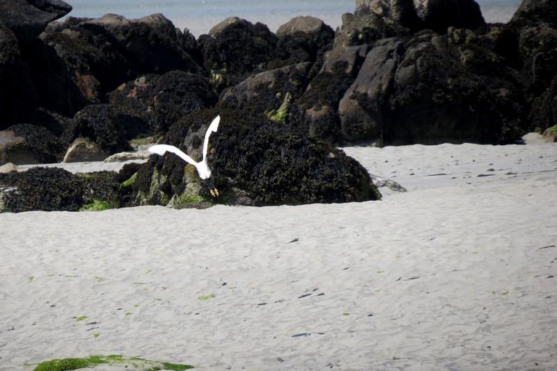 héron ,aigrettes et autres oiseaux ;  guisseny  ,étang prés de mer Img_9423