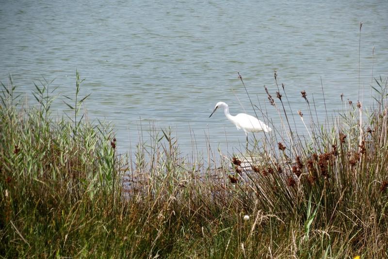 héron ,aigrettes et autres oiseaux ;  guisseny  ,étang prés de mer Img_9424