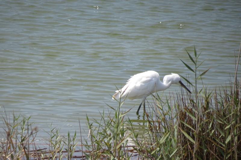 héron ,aigrettes et autres oiseaux ;  guisseny  ,étang prés de mer Img_9519