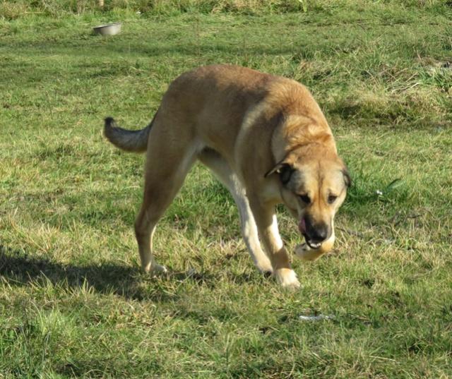 LOLITA femelle type berger/husky 5 ans Img_2119