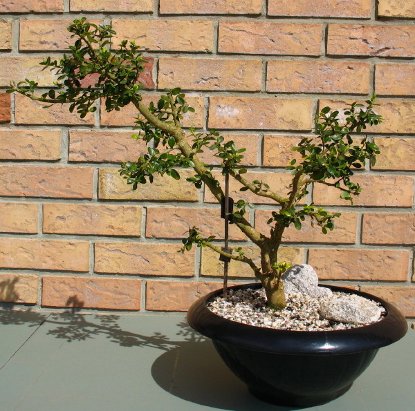 Evolution de mes bonsai Buxus_11