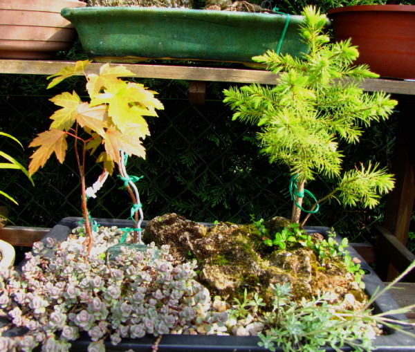 Evolution de mes bonsai Img_1814