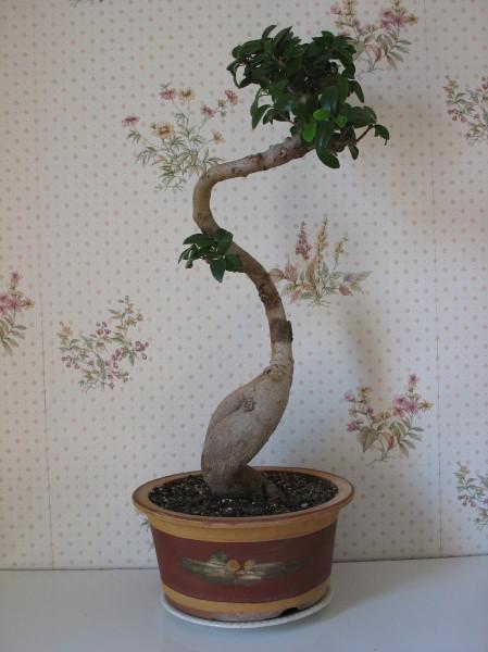 nos bonsaïs et autres ficus Img_2925