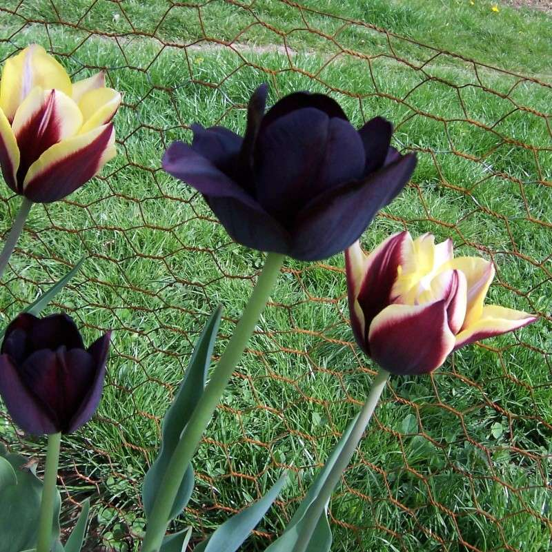 Tulipa - Laleaua 100_7010