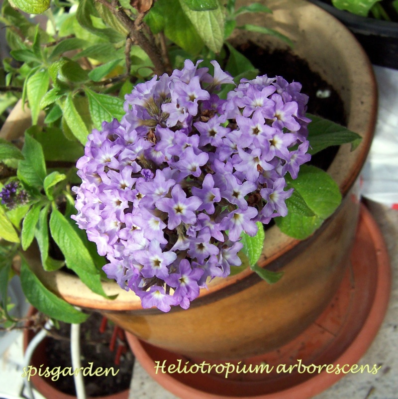 Heliotropium arborescens - Vanilia 100_8612