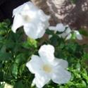 Pandorea jasminoides 100_9310