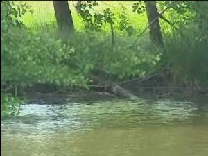un crocodile dans nos étangs 1111110