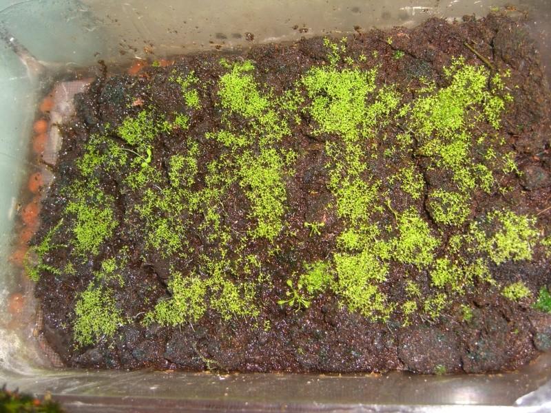 Semi de Drosera Capensis Cimg4617
