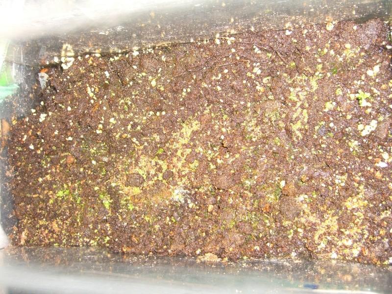 Semi de Drosera Capensis Cimg5714