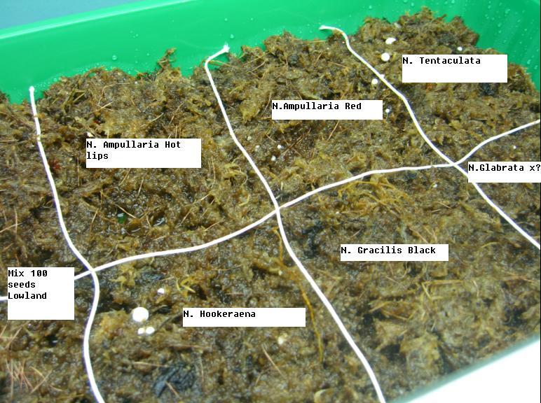 Semis de Nepenthes Untitl10
