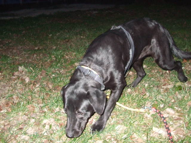 Labrador Deva 1 ans (84) près Avignon Dscf1526