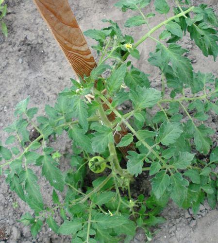 2011 le jardin de chacun Nicoyo10
