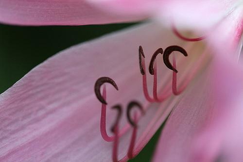 Bulbeuses exotiques acclimatables au jardin ( Liliacées, ( Amaryllidacées, Iridacées...) 11078813