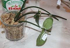 Bouturage d'épiphytes dans la sphaigne 11668612
