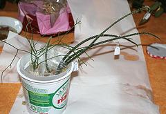 Bouturage d'épiphytes dans la sphaigne 11668613