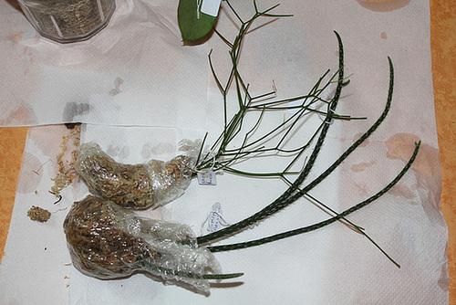 Bouturage d'épiphytes dans la sphaigne 11668614