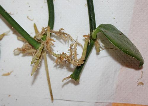 Bouturage d'épiphytes dans la sphaigne 11668618