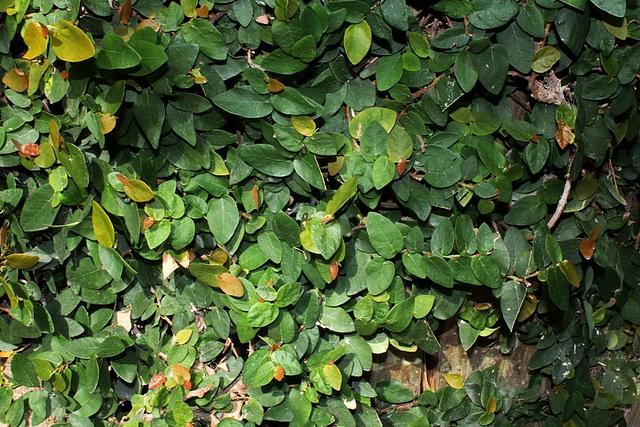 Ficus repens ou pumila : sans limites !! 13012710