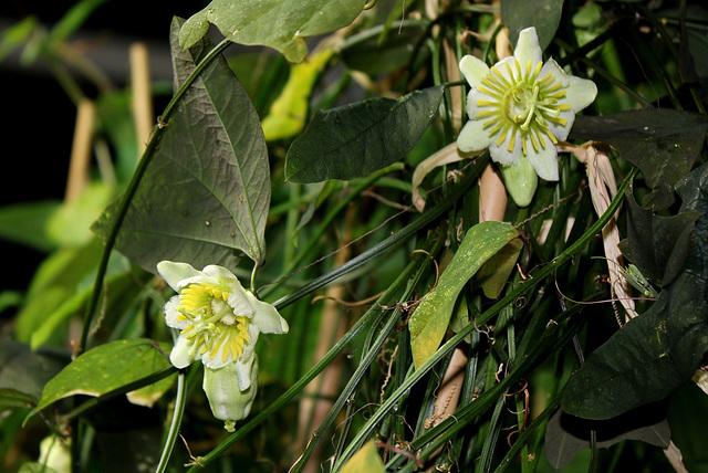 Passiflores en fleurs , le boum de l'hiver  29892812