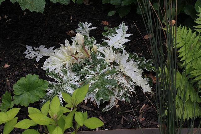 acanthe variegata 33277810