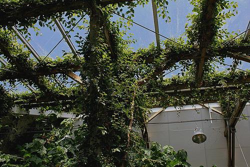 Ficus repens ou pumila : sans limites !! 37705510